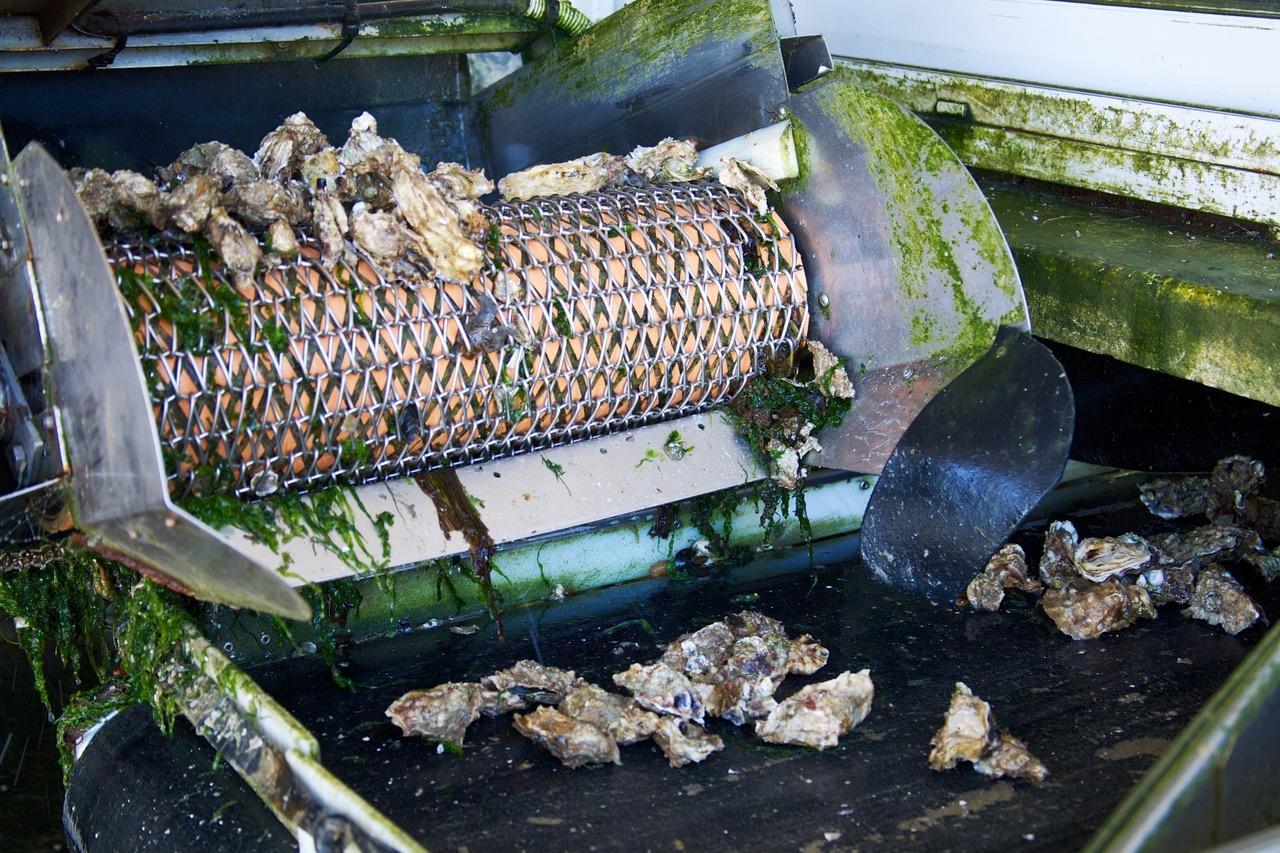 Fresh oysters in Ile de Ré