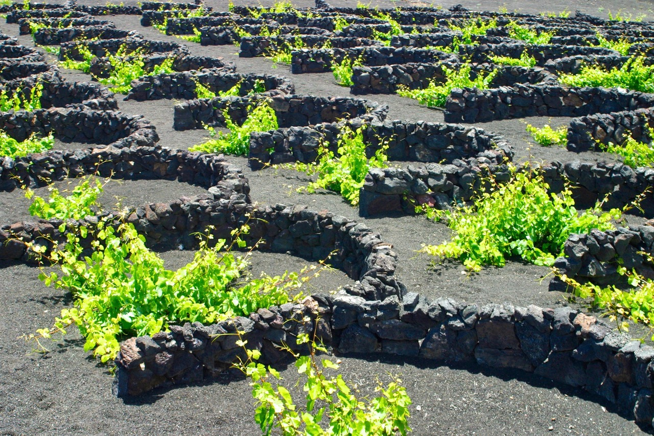 Vineyard in the valley of La Geria, Lanzarote