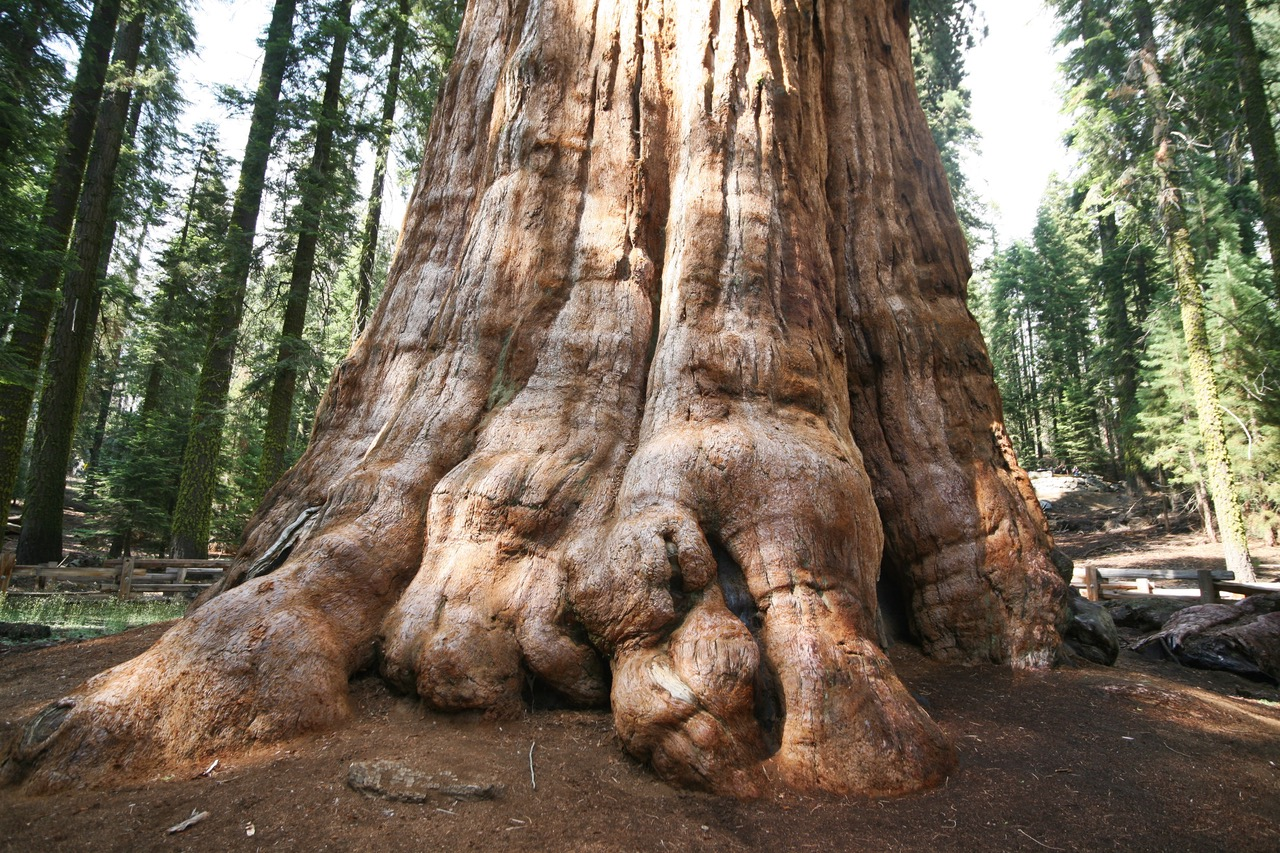 Giant Sequoia tree at Sequoia National Park