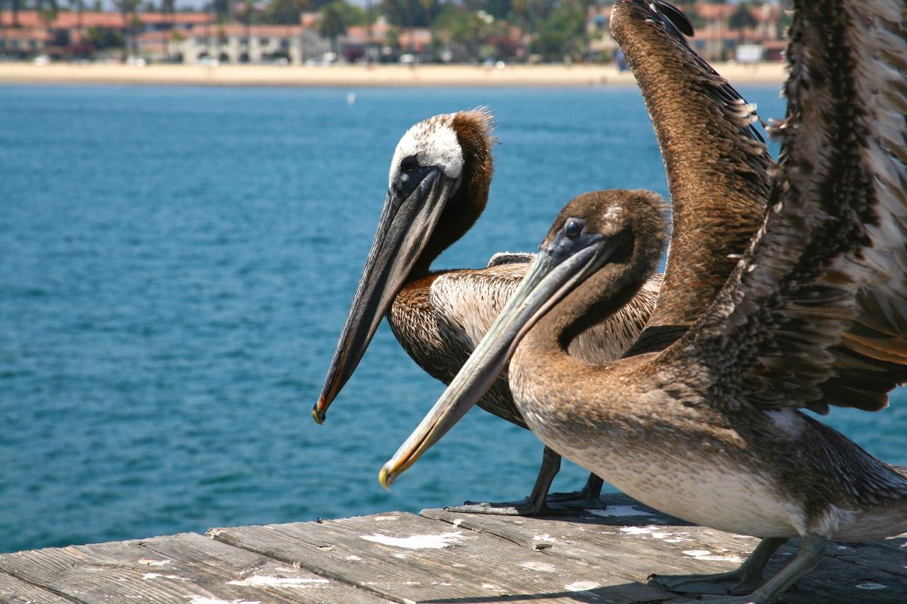 California pelicans at the pier in Santa Barbara