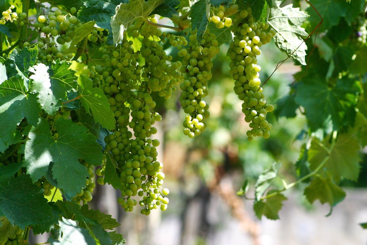 Vineyard in Cortona, Italy