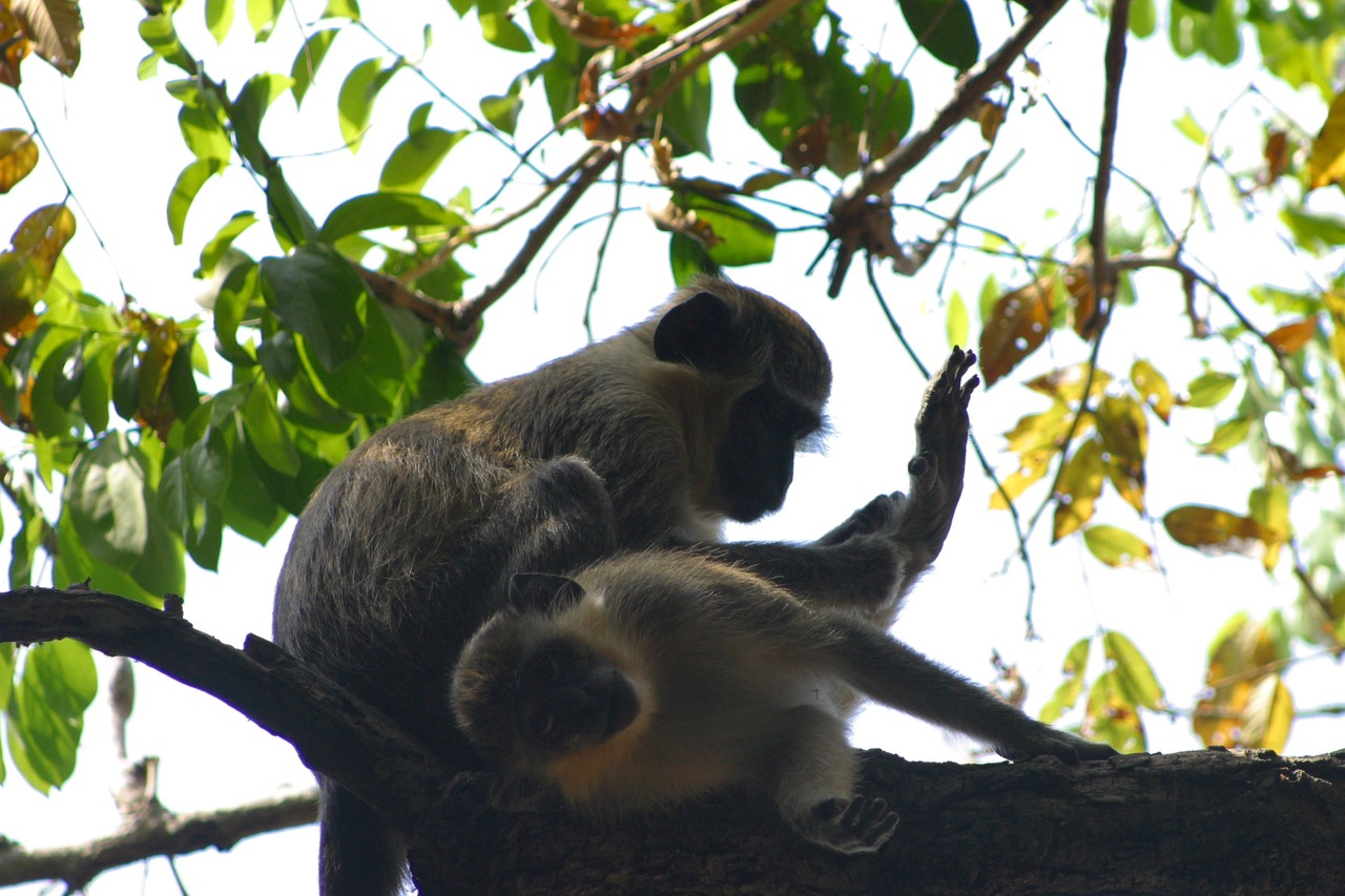 Monkeys at Bijilo National Park