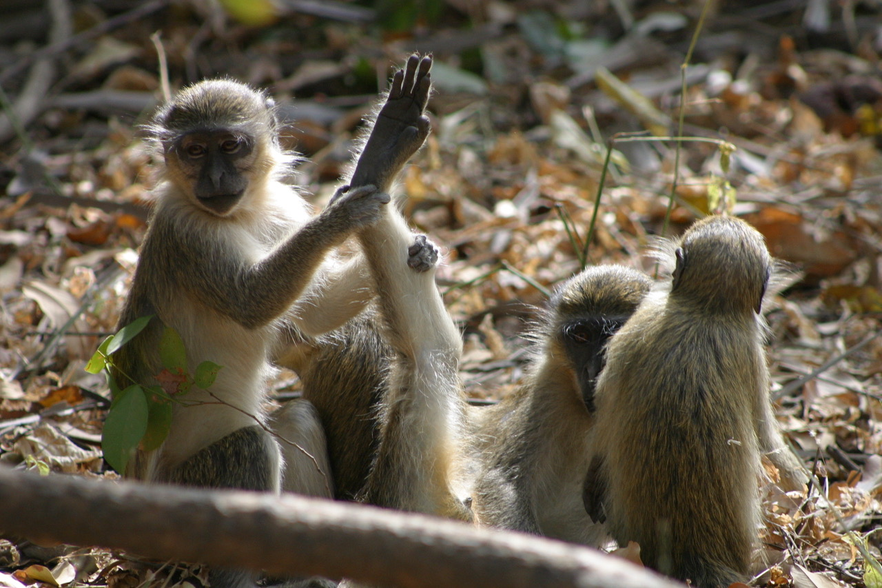 Bijilo National Park monkeys, Gambia