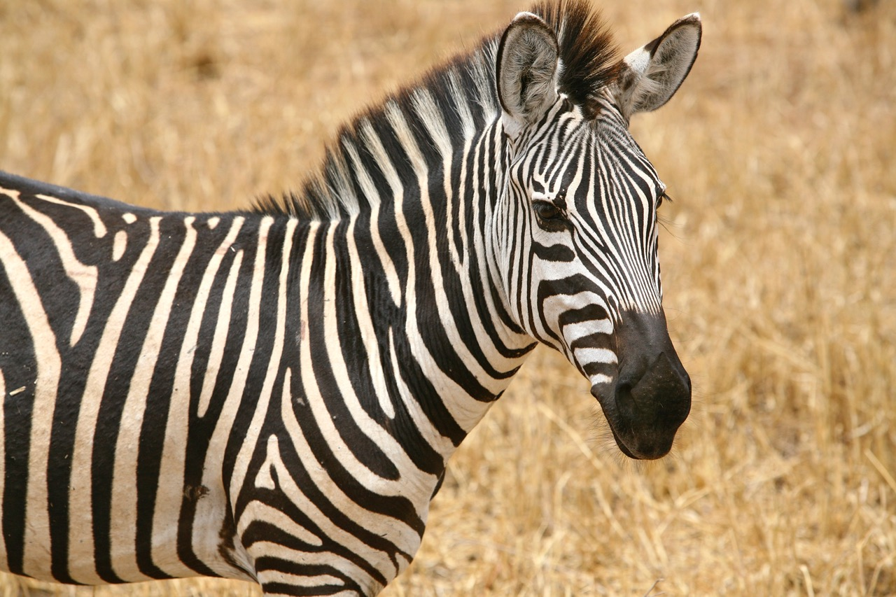 Close up of zebra at Tarangire National Park, Tanzania