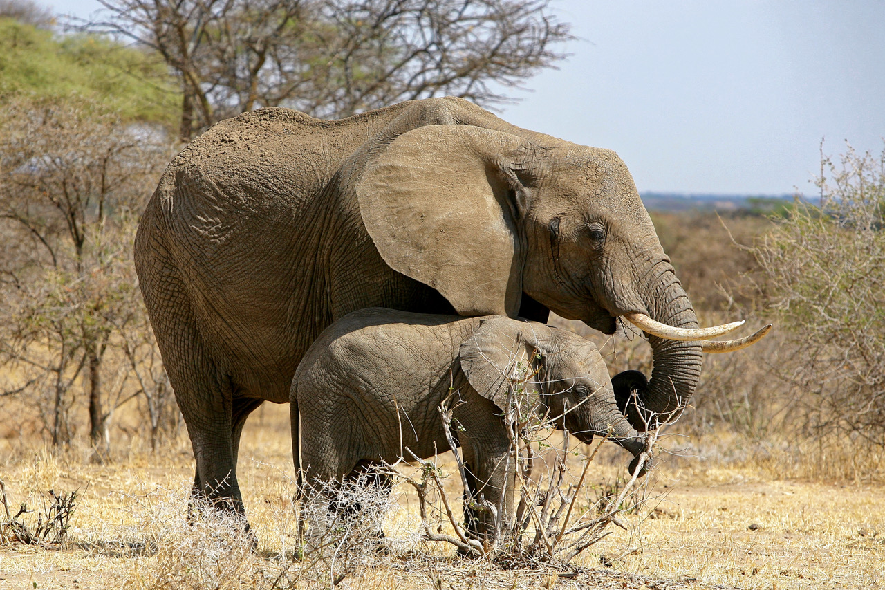 Elephant with baby elephant in Tarangire National Park, Tanzania