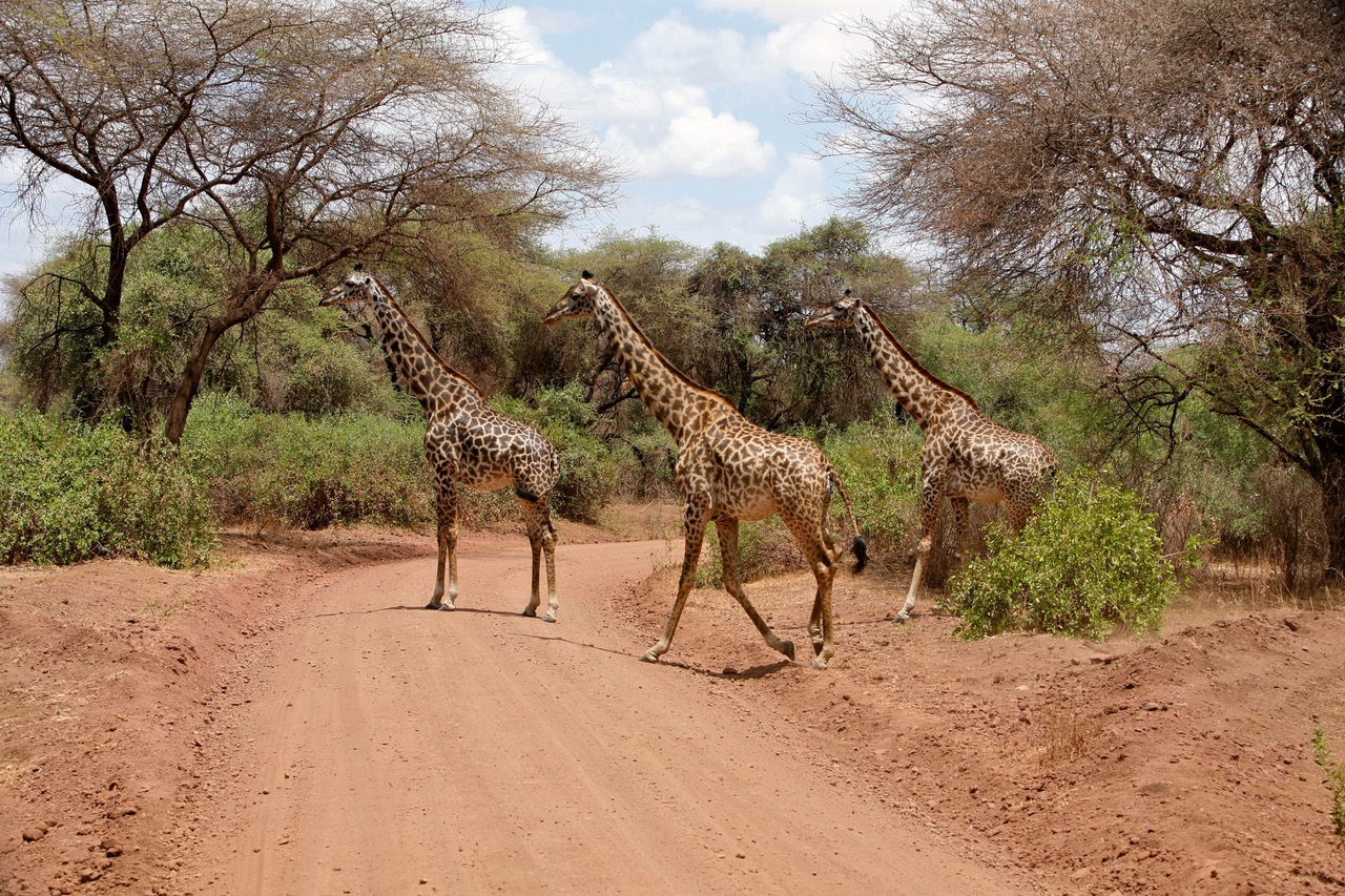 Giraffe crossing the road at Lake Manyara National Park wildlife