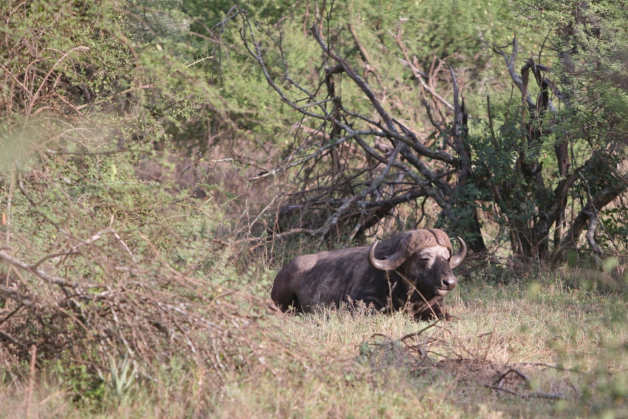 Buffalo Serengeti National Park, Tanzania