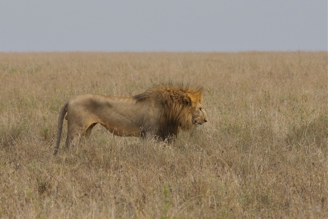 Lion King in Serengeti National Park, Tanzania