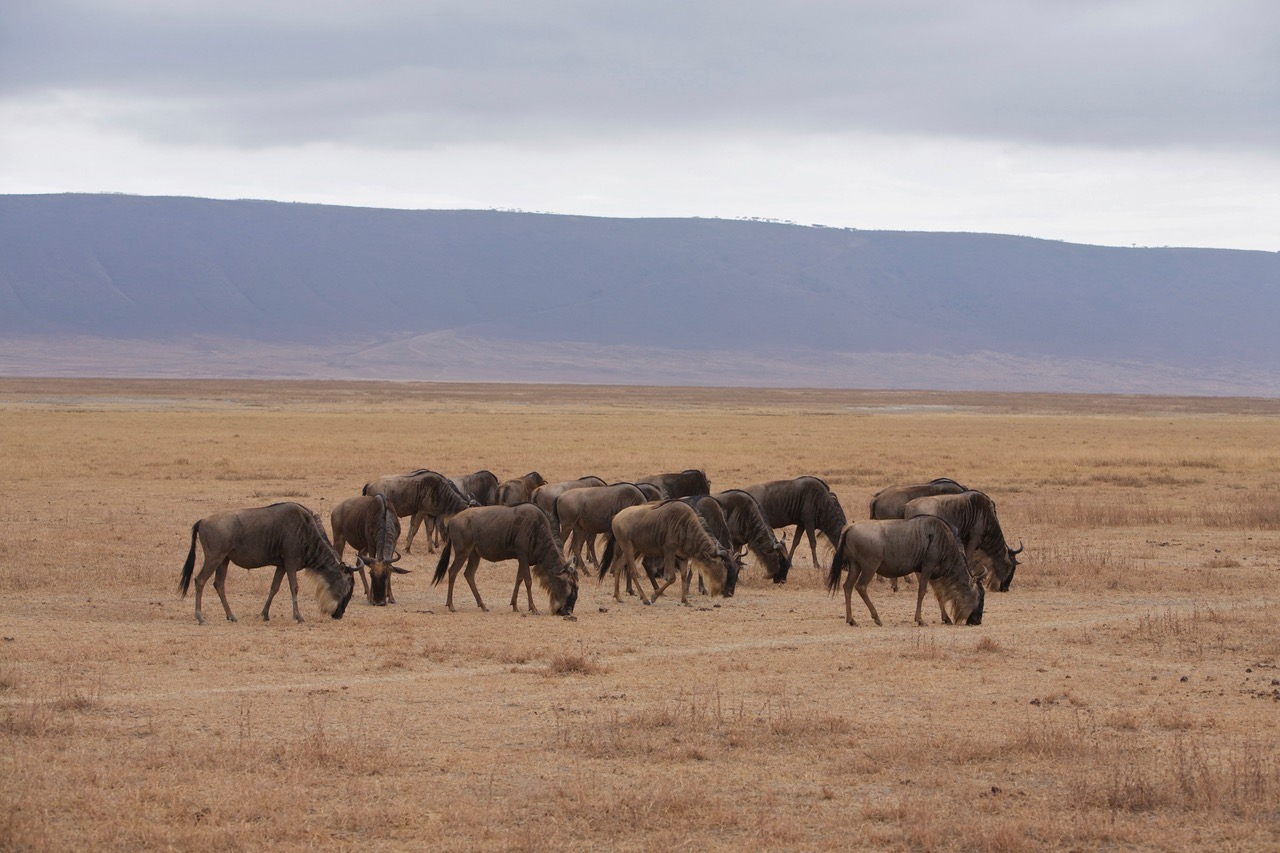 Grazing wildebeest at Ngorongoro Crater, Tanzania