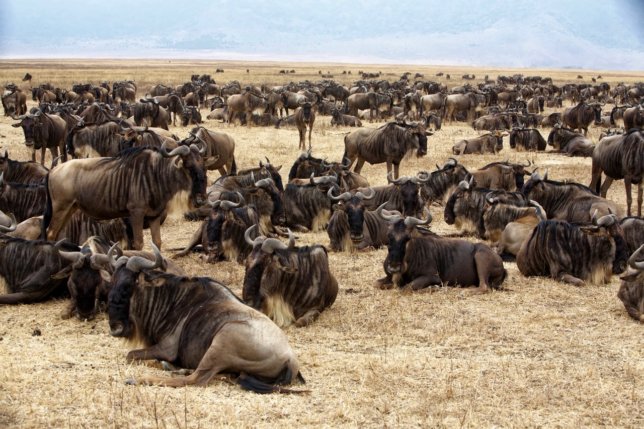 Group of wildebeest Ngorongoro Crater, Tanzania