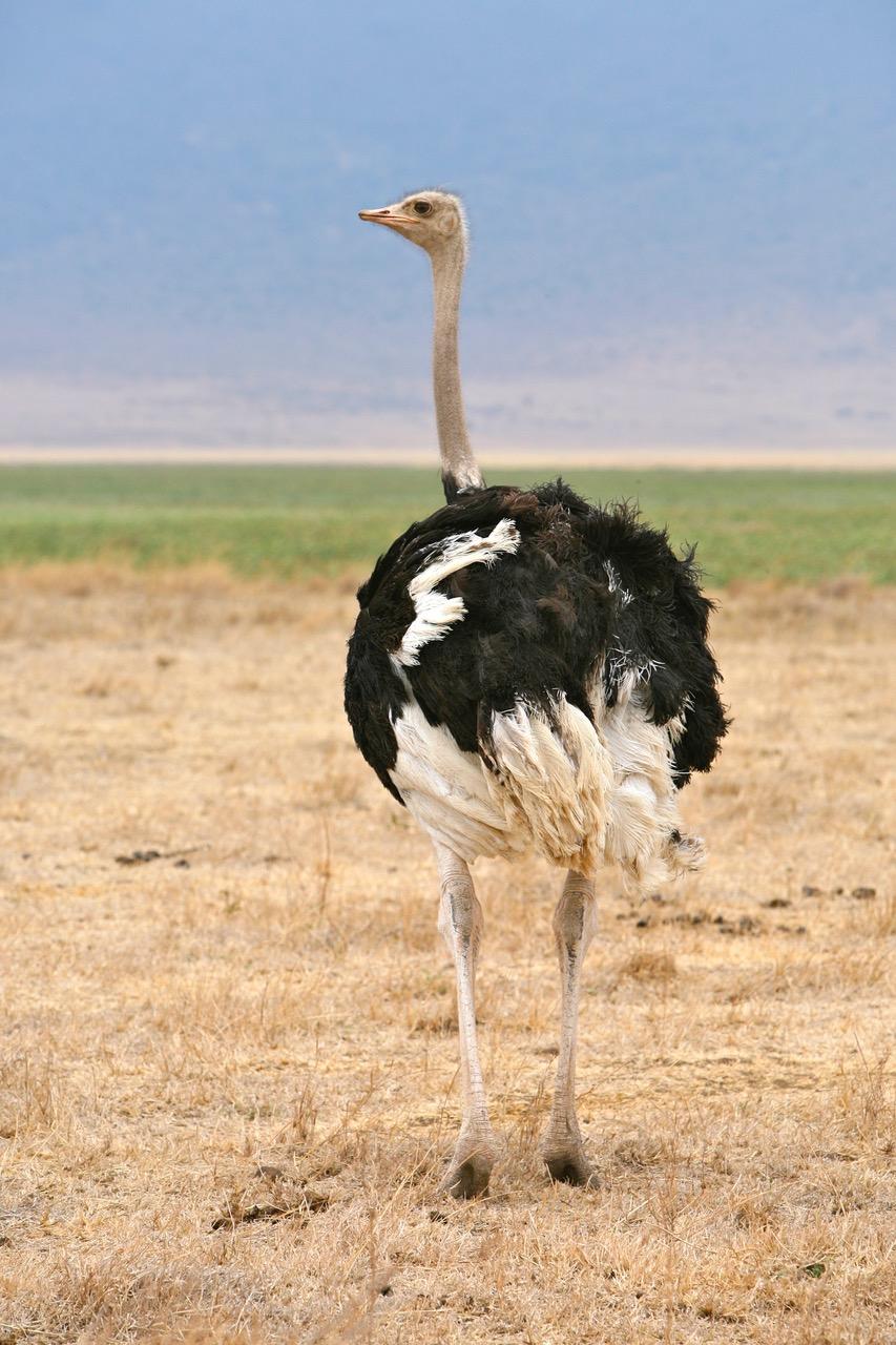 Ostrich Ngorongoro Crater, Tanzania