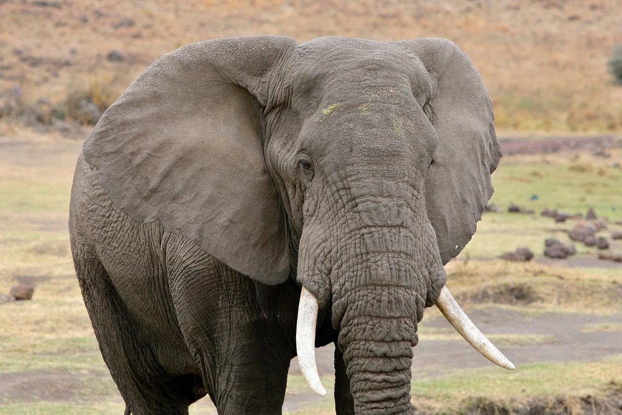 Big elephant Ngorongoro Crater, Tanzania