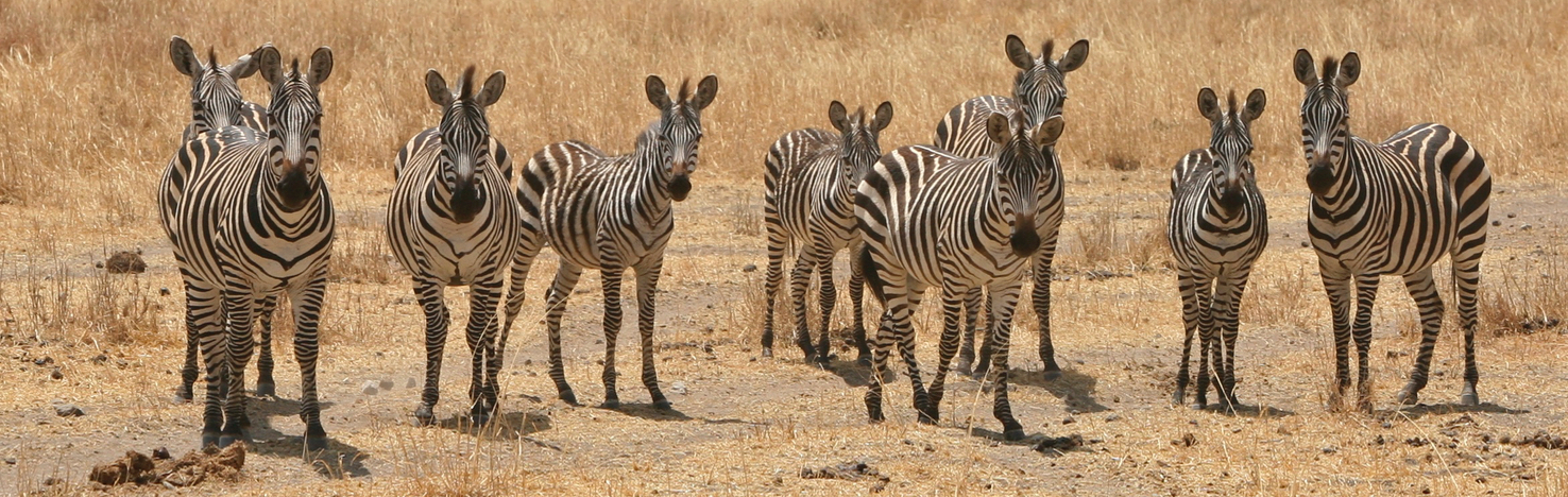 Group of zebras at Tarangire National Park, Tanzania