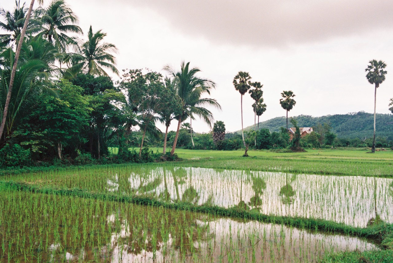 Koh Samui rice fields