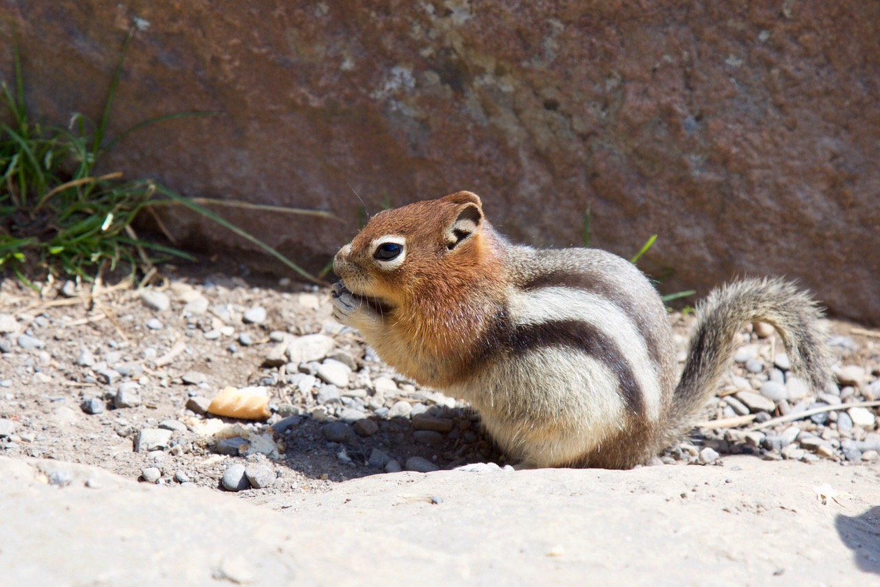 Squirrel, Banff, Canada