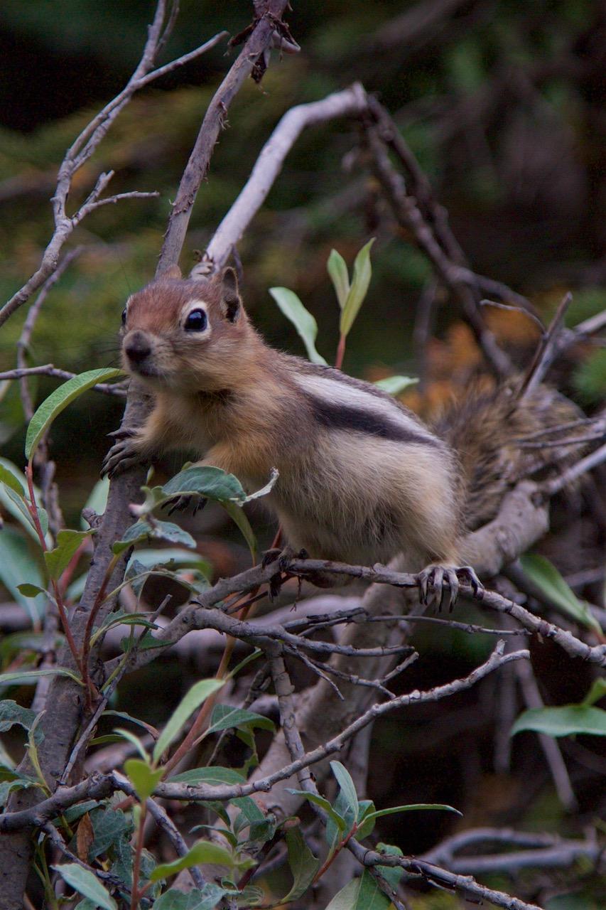 Squirrel, Takakkaw Falls, Canada