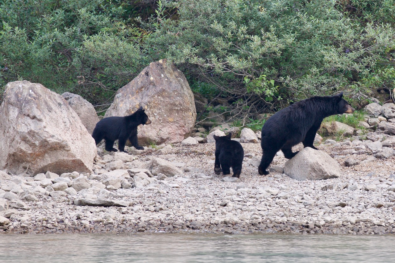 Blue River, Mama Bear with Cups, Canada