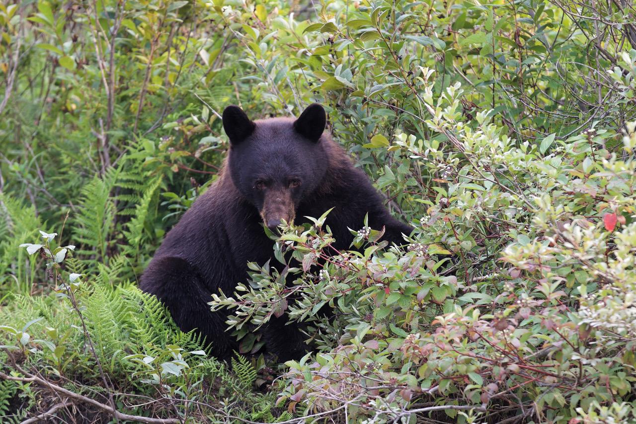 Blue River, Black Bear, Canada