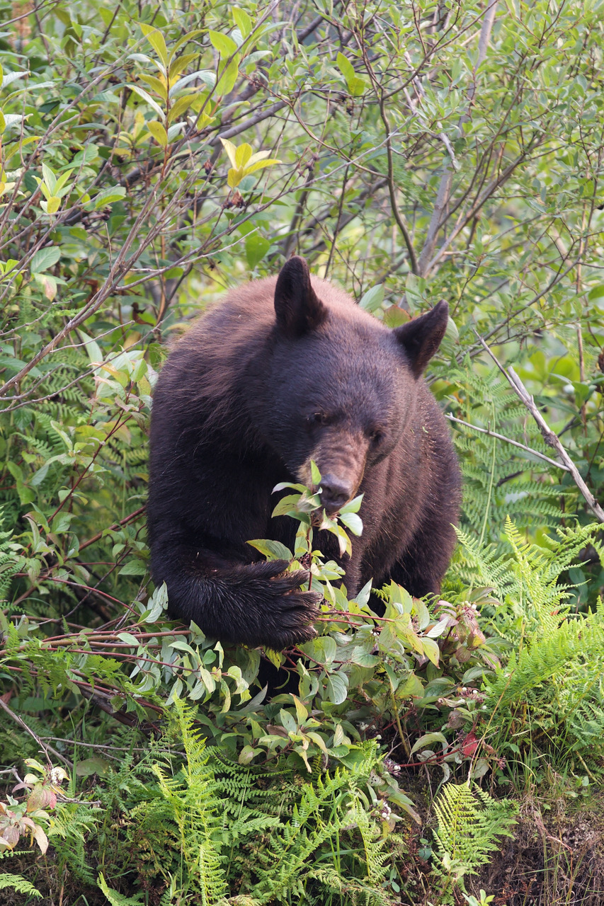 Bleu River, Canada, Black Bear, Berries