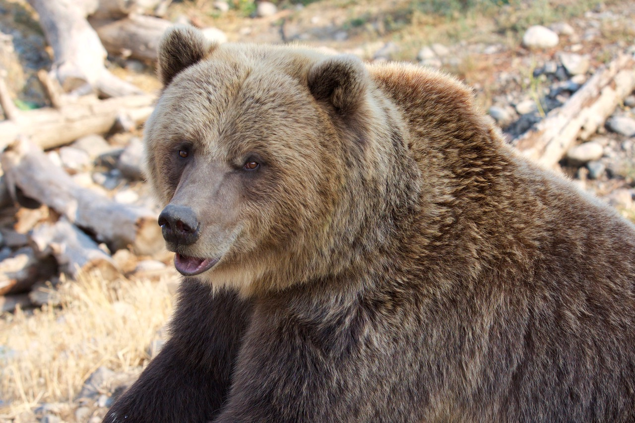 Kamloops, Canada, Grizzly Bear