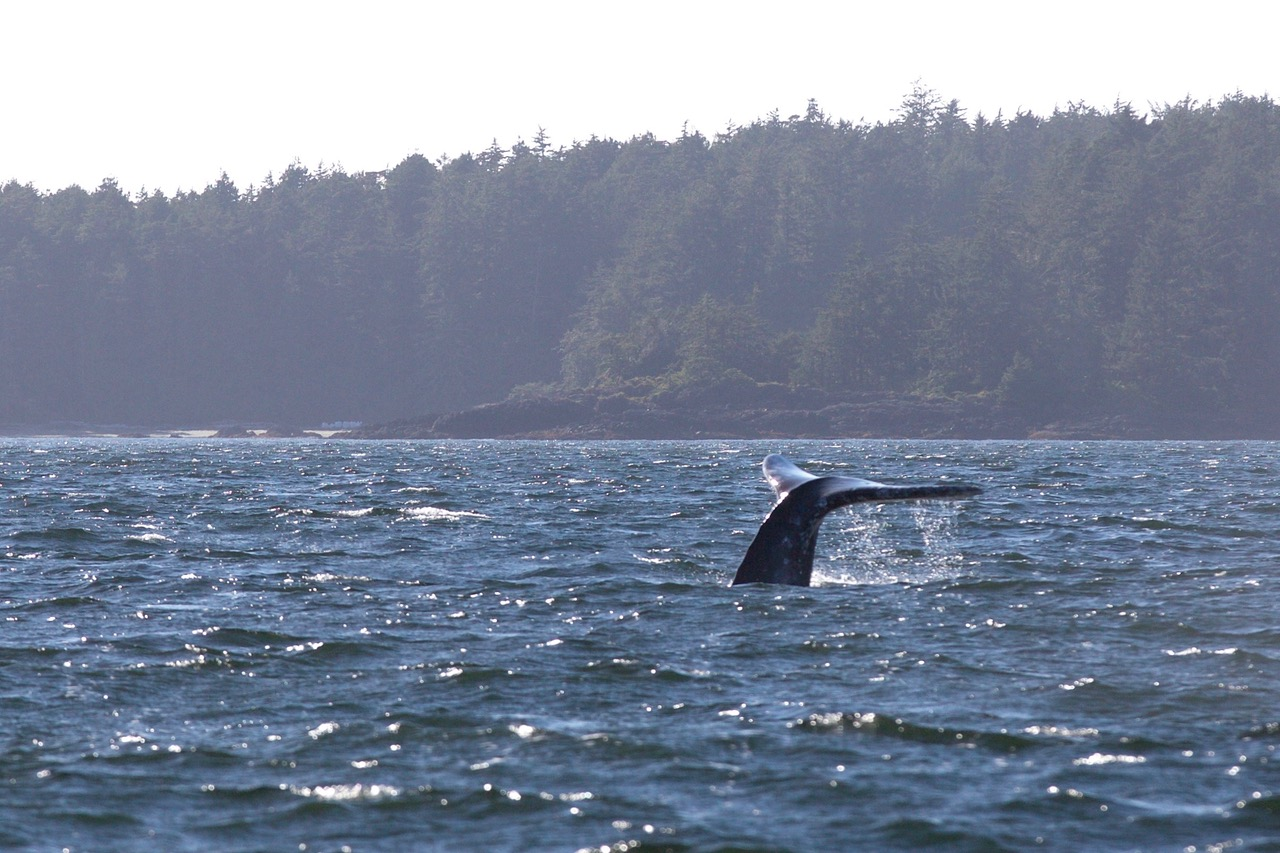 Gray Whale Tale, Vargas Island Provincial Park, Vancouver Island