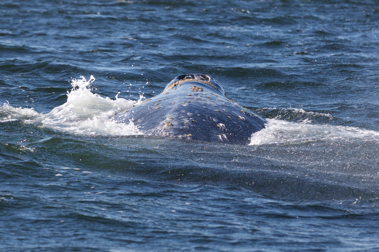 Gray Whale, Vargas Island Provincial Park, Vancouver Island