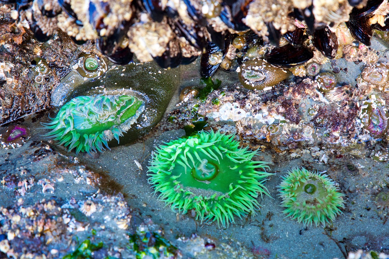 Pacific Rim National Park, Tofino, sea anemone