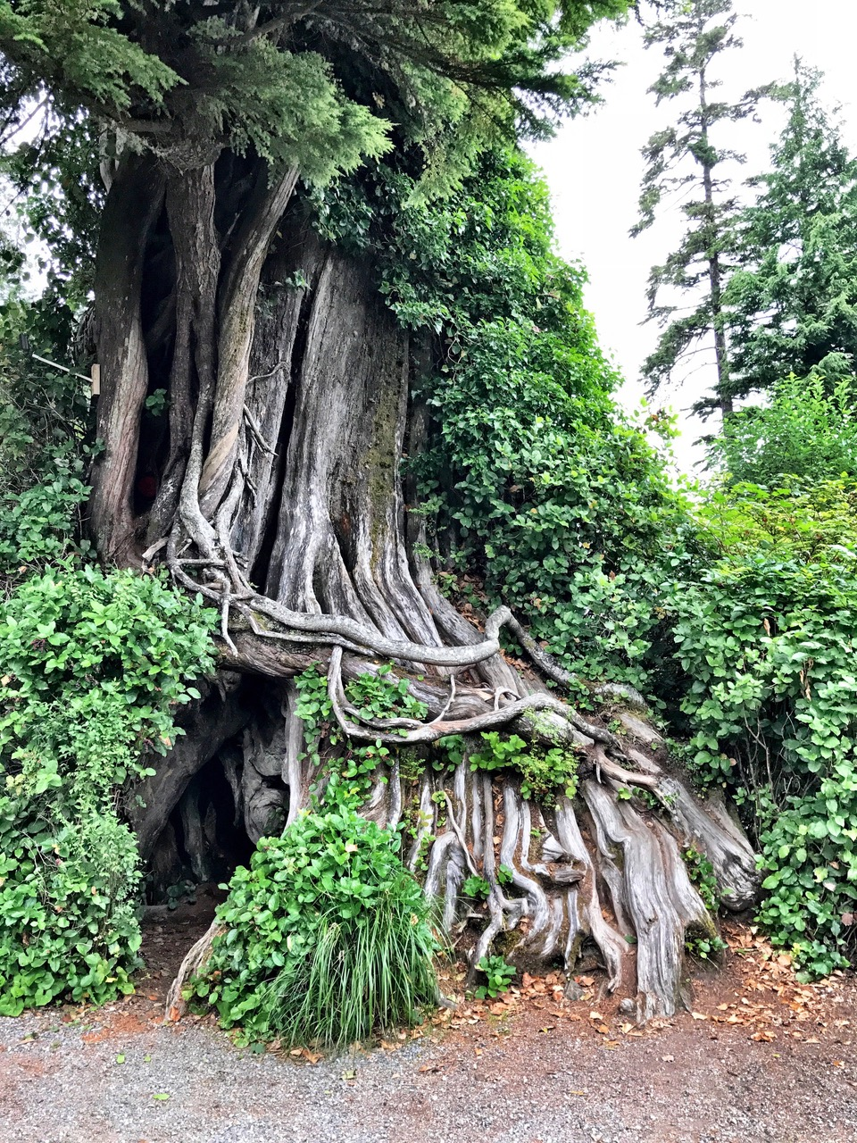 Giant Red Cedar Tree, Tofino, Vancouver Island