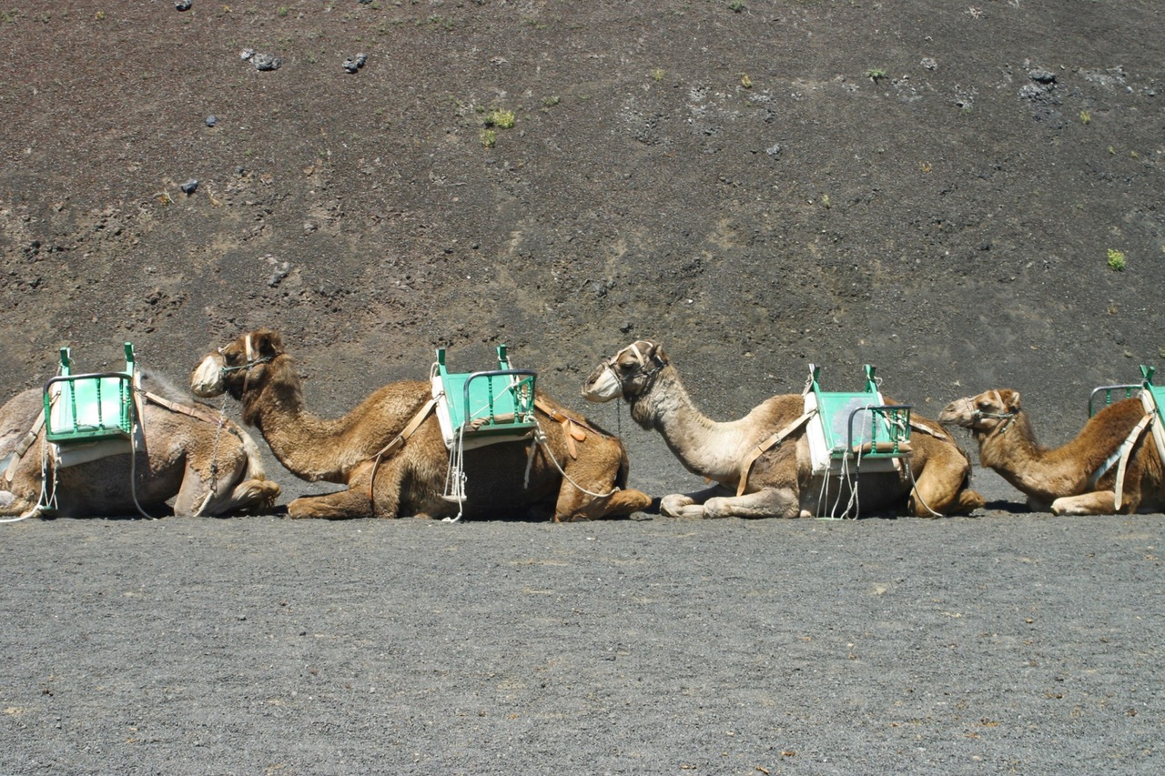 Waiting for the next ride, Camel Ride in Timanfaya, Lanzarote