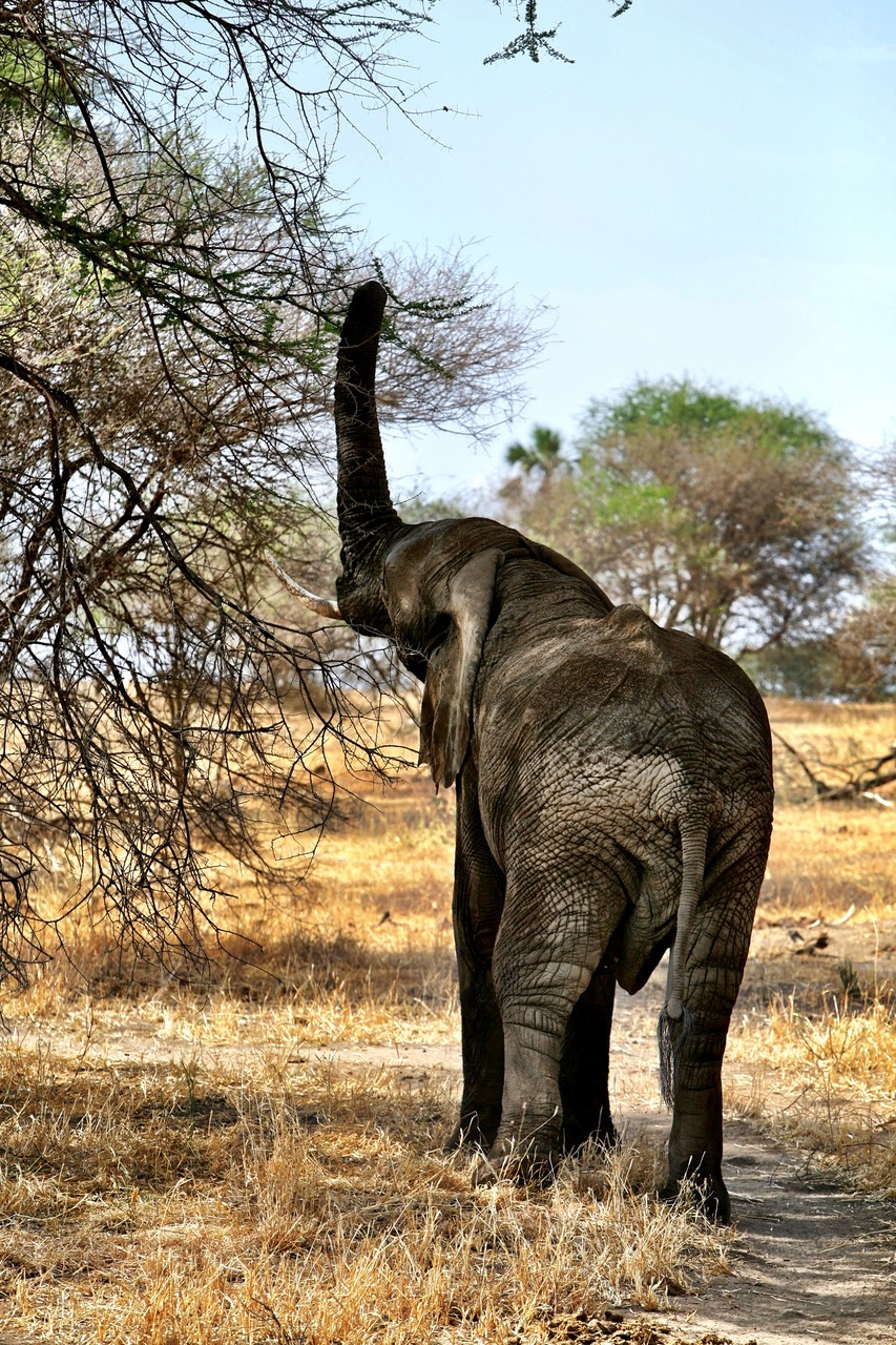 Elephant looking for leaves in Tarangire National Park, Tanzania