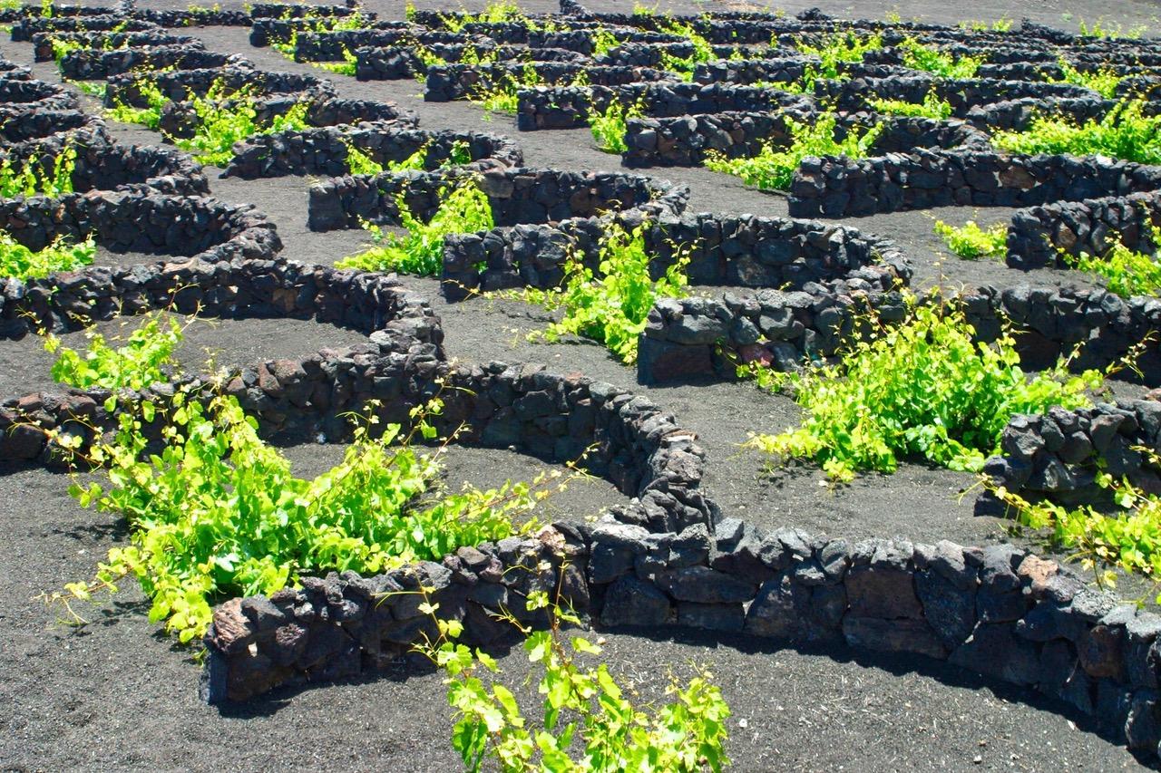 Vineyard in the valley of La Geria, Lanzarote