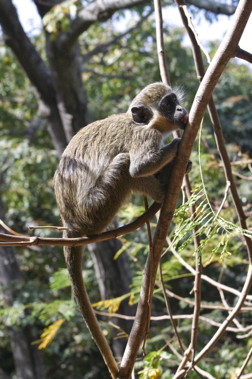 Bijilo National Park monkey