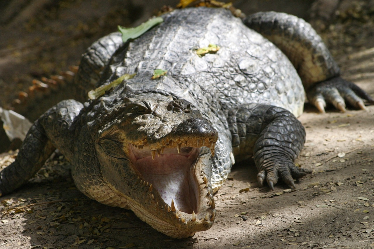 Bakau crocodile Gambia