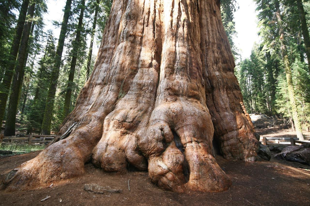 Giant Sequoia tree at Sequoia National Park