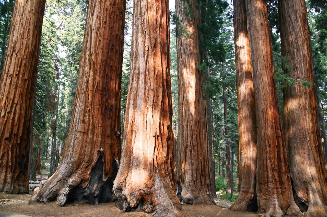 Giant Sequoias at Sequoia National Park