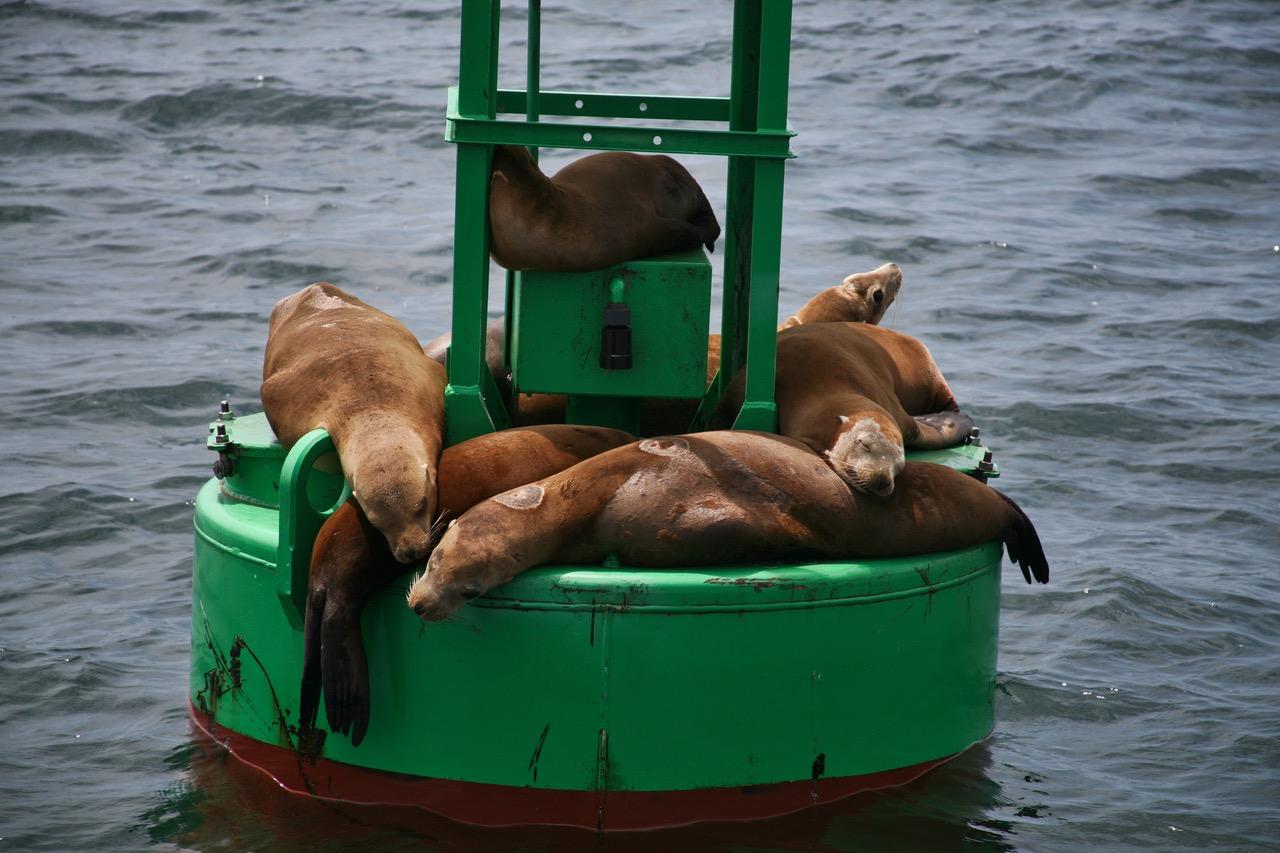 Lazy sea lions in Santa Barbara