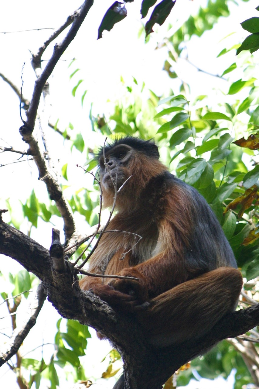 Monkey at Bijilo National Park