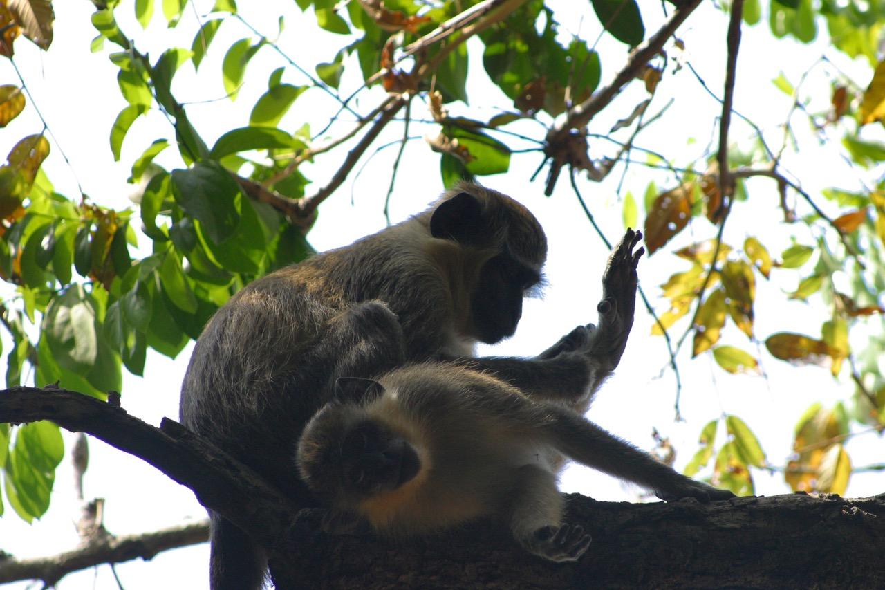Monkeys at Bijilo National Park