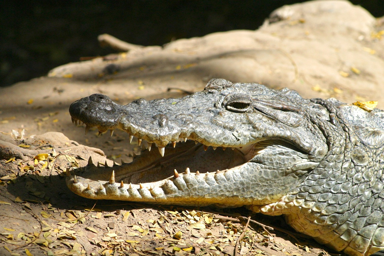 Crocodile catching some sun in Bakau, Gambia