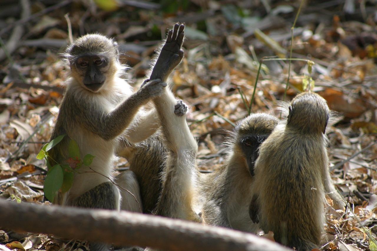 Bijilo National Park monkeys, Gambia