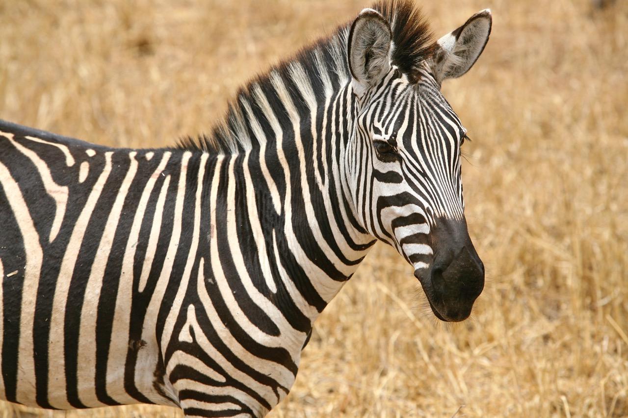 Close up of zebra at Tarangire National Park, Tanzania