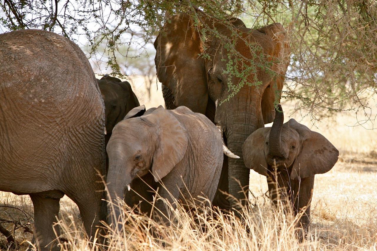 Wonderful close up of elephant family at Tarangire National Park, Tanzania