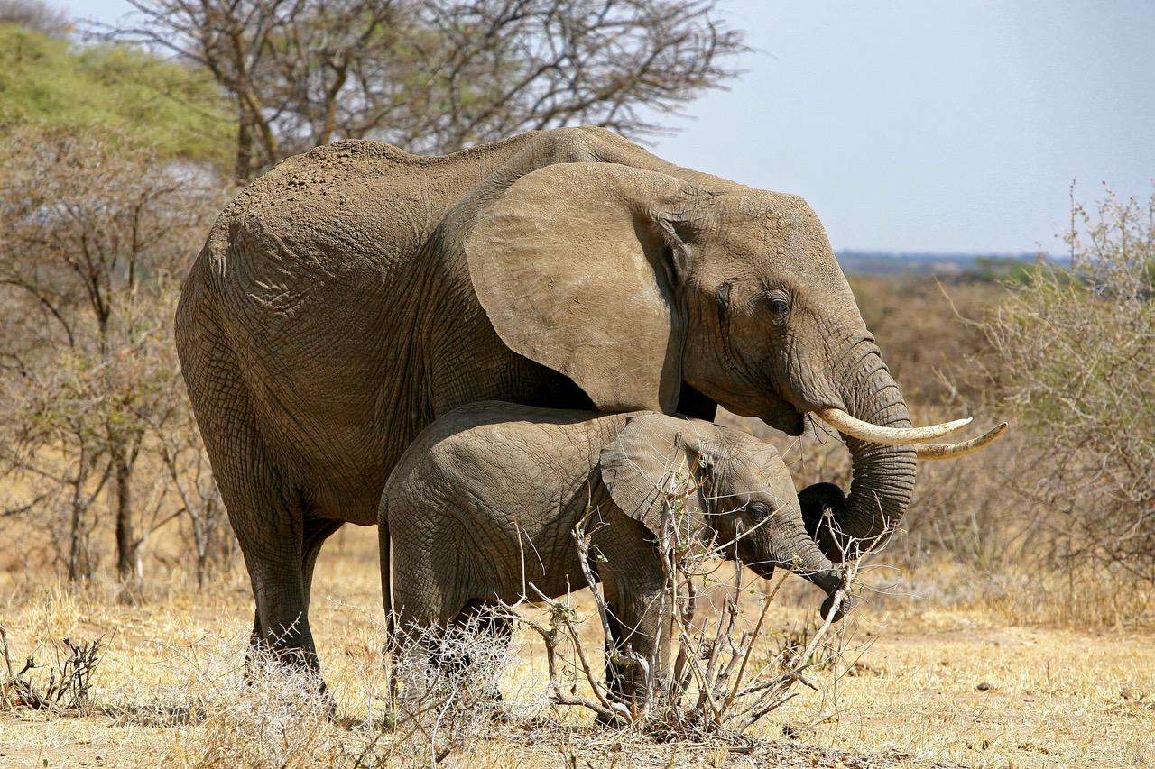 Elephant with baby elephant in Tarangire National Park, Tanzania