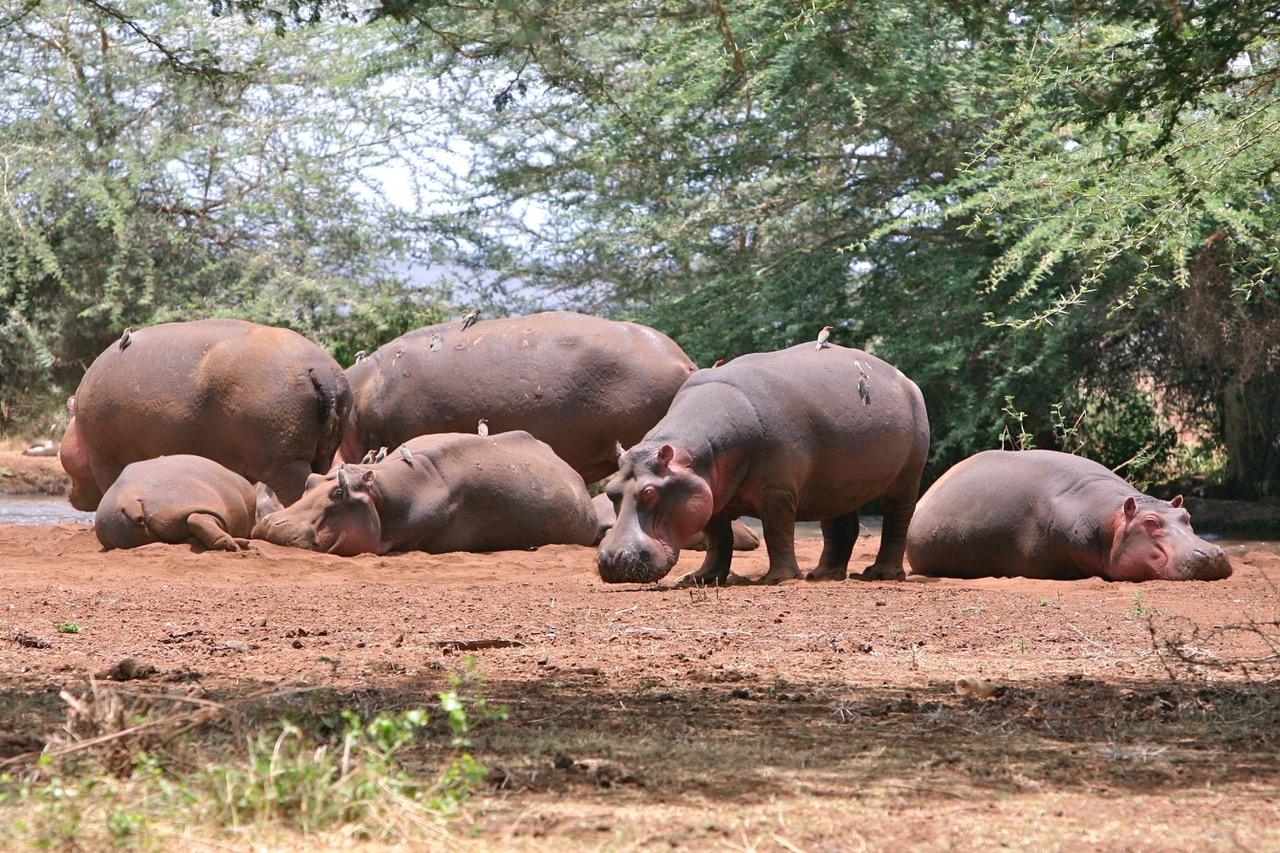 Hippos at Lake Manyara National Park, Tanzania