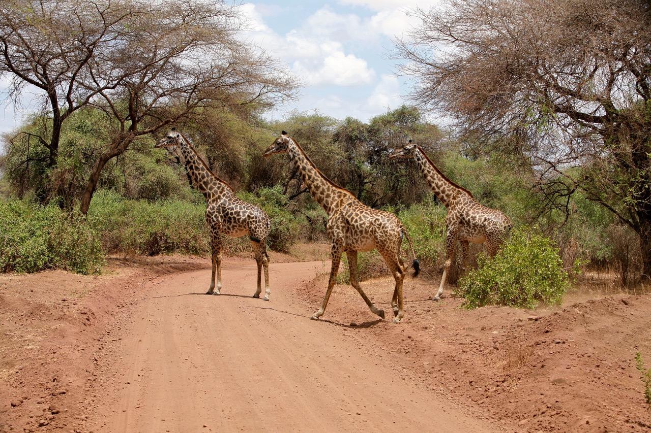 Giraffe crossing the road at Lake Manyara National Park wildlife