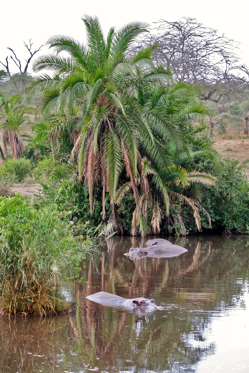 Hippo pool at Serengeti National Park, Tanzania