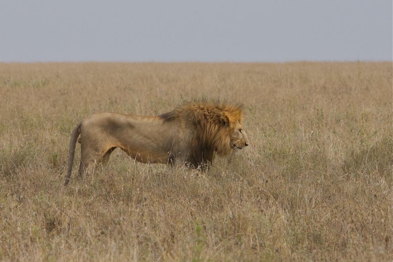 Lion King in Serengeti National Park, Tanzania