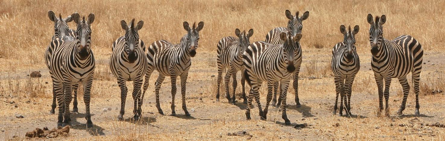 Group of zebras at Tarangire National Park, Tanzania
