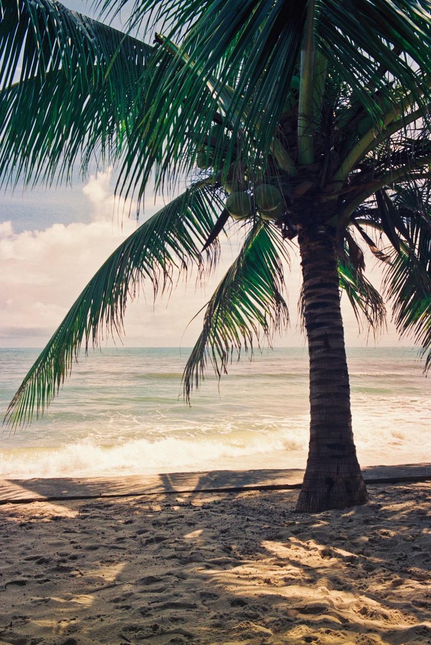 Koh Samui beach palm tree