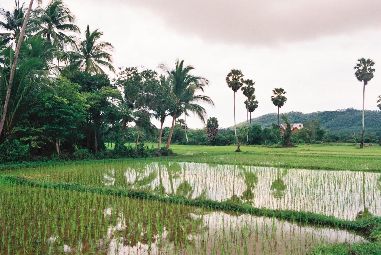 Koh Samui rice fields